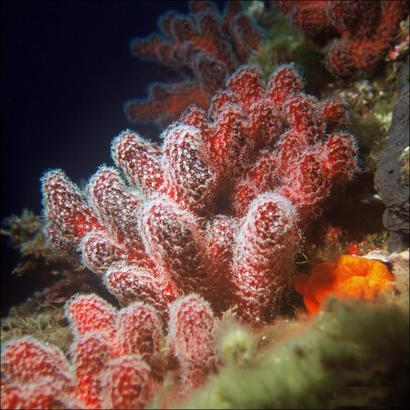 Alcyonium palmatum (in the family Alcyoniidae)