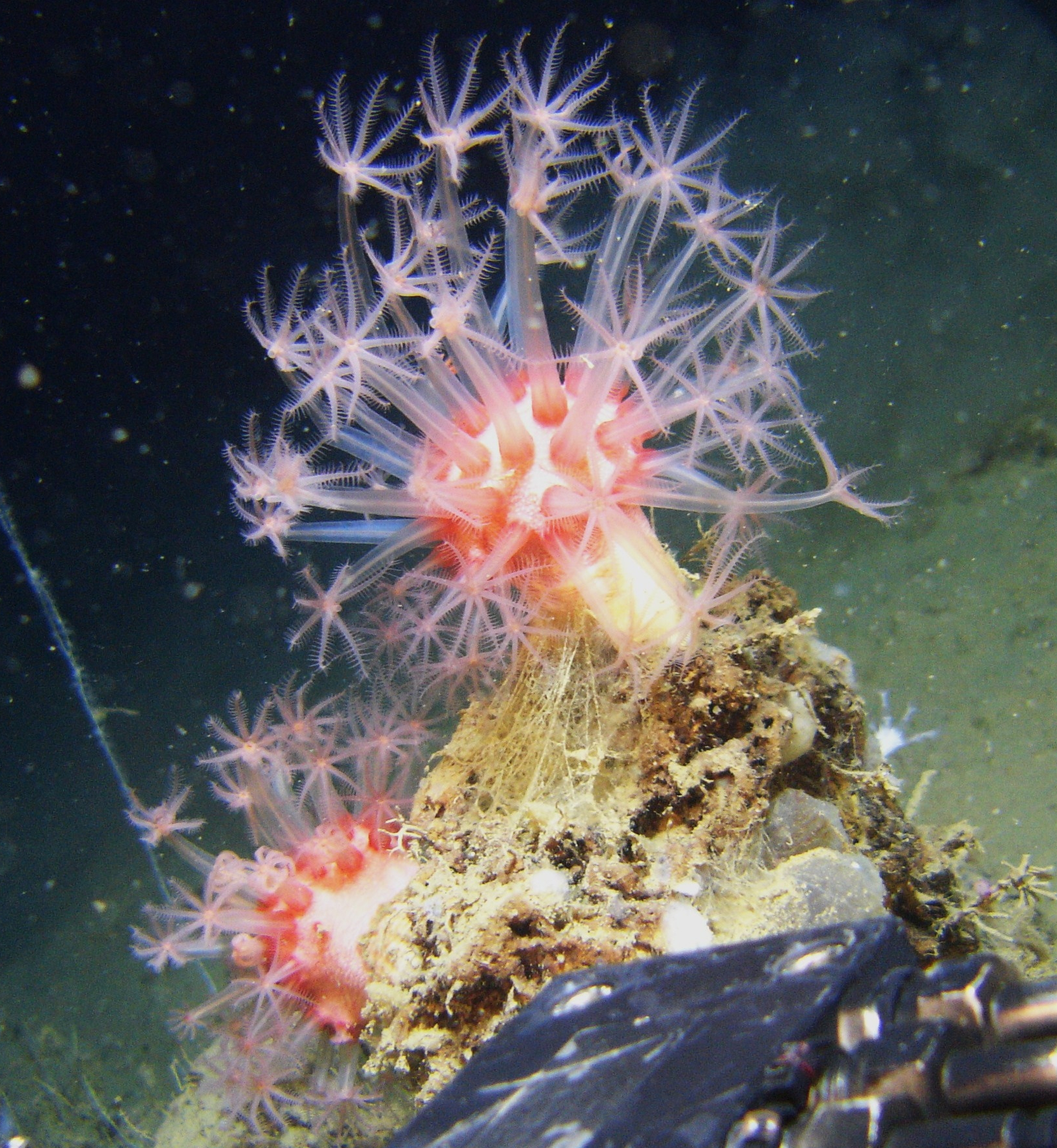Anthomastus coral with polyps extented