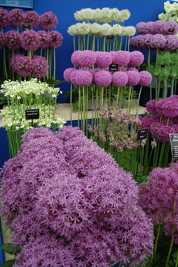 Cultivated Alliums
