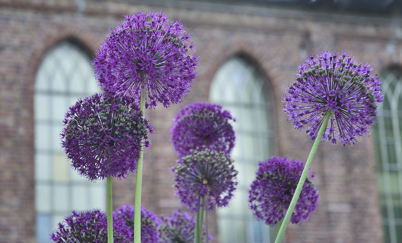 Allium, Purple flowers