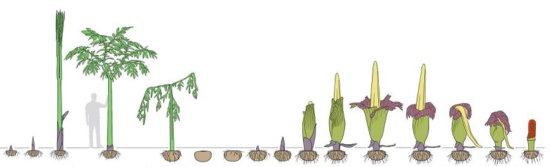 Amorphophallus titanum Life Cycle