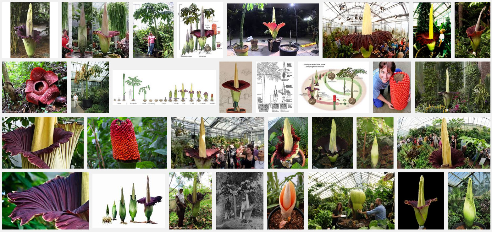 >Amorphophallus titanum photo collage