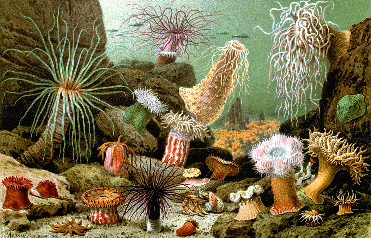 Various examples of sea anemones (1893 print)