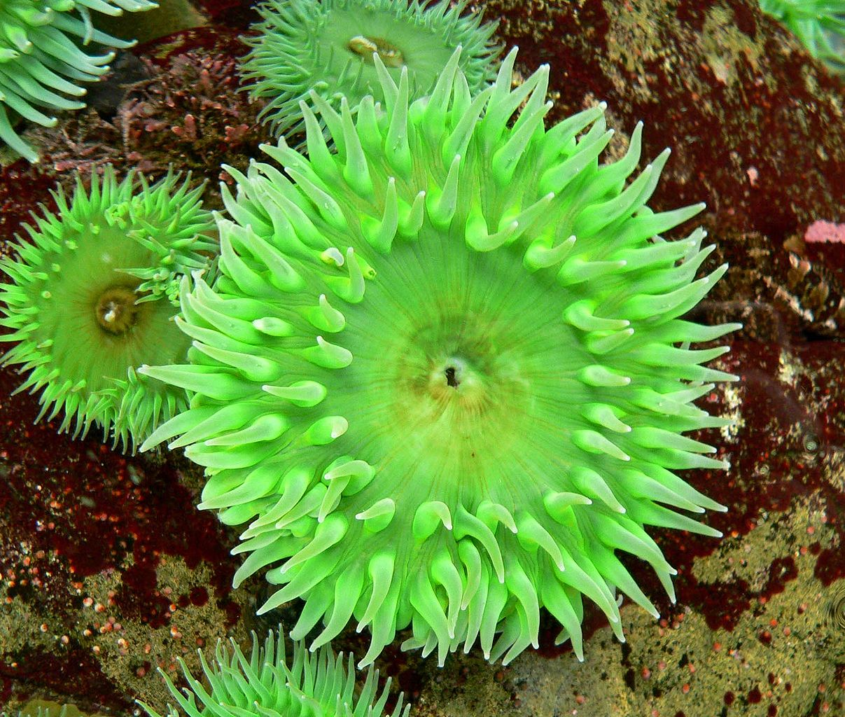 Anthopleura xanthogrammica (giant green anemone)