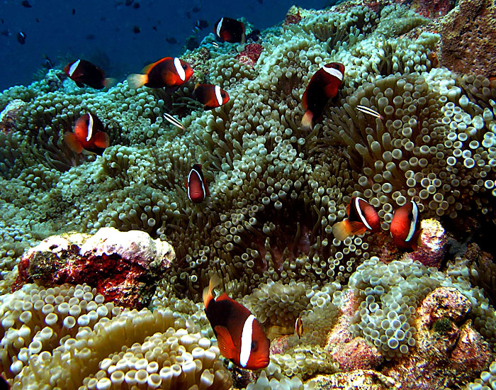 Colony of anemones (Entacmea quadricolor and resident anemonefish (Amphiprion melanopus)
