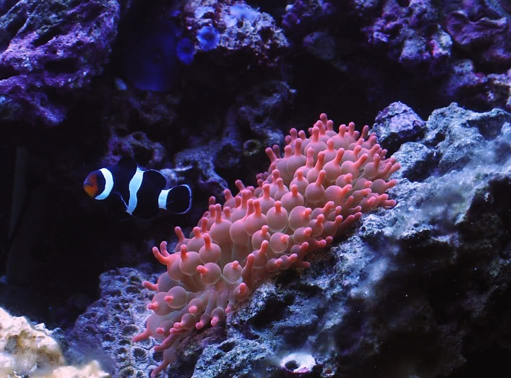 Rose Bubble Tip Anemone (Entacmea quadricolor)