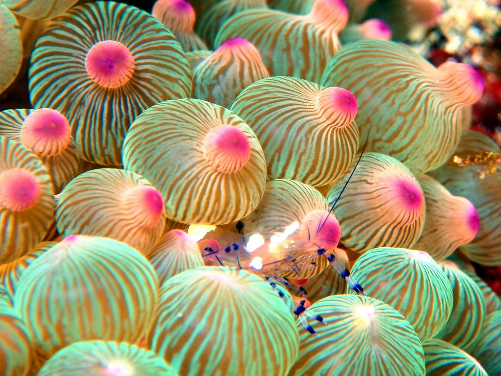 Bubble Tip Anemone and a Anemone Shrimp (Thor amboinensis)