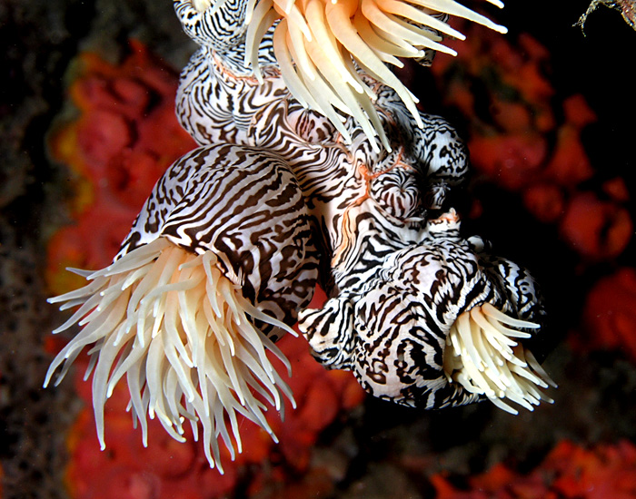 Striped colonial anemones