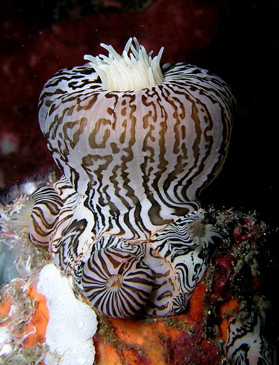 Zebra Stripes anemone