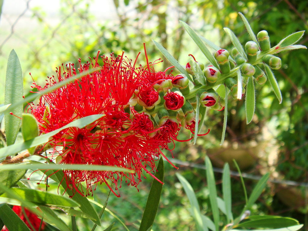 Bottlebrush (Callistemon) in partial bloom