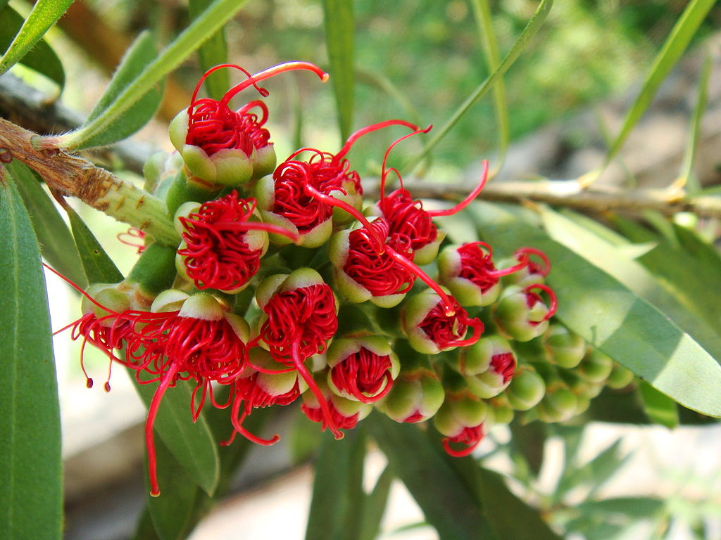 Blooming bottlebrush (Callistemon)