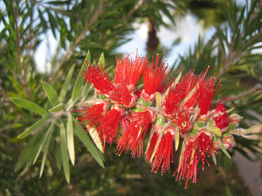 Callistemon viminalis (Weeping bottlebrush)