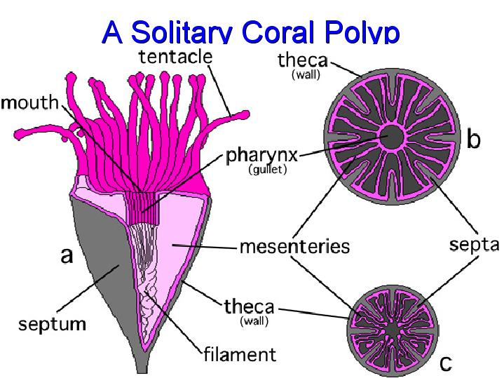 A Solitary Coral Polyp