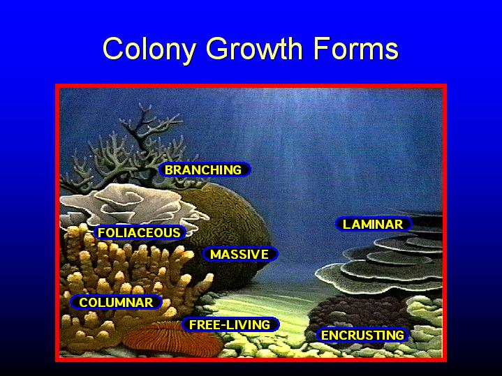 Coral colony growth forms