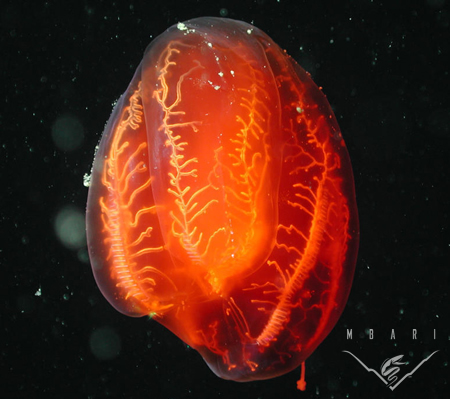 Comb Jelly, Aulacoctena sp.