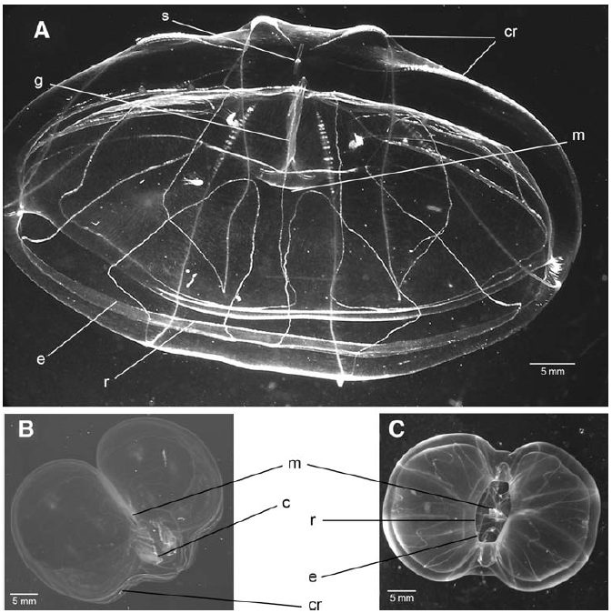 The morphology of Thalassocalyce inconstans