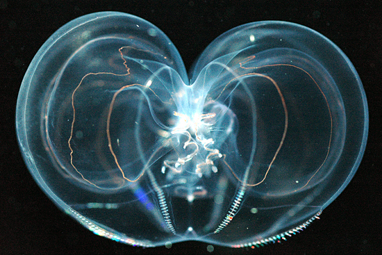 Thalassocalyce comb jelly