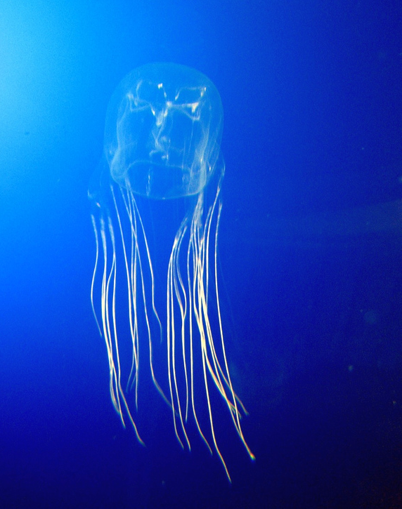 Sea wasp jellyfish (Chironex fleckeri)