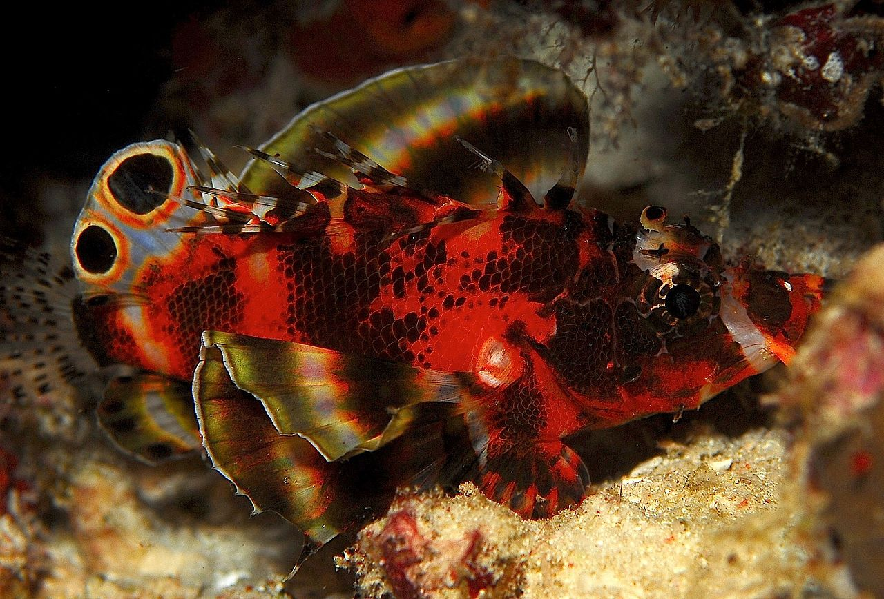 Two-eyed Lionfish (Dendrochirus biocellatus)