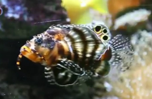 Twospot turkeyfish (Dendrochirus biocellatus) Video