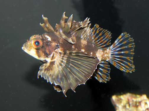 Dendrochirus barberi. Hawaiian lionfish