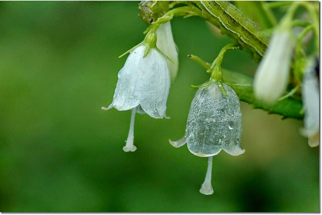 Diphylleia grayi turns translucent with rain