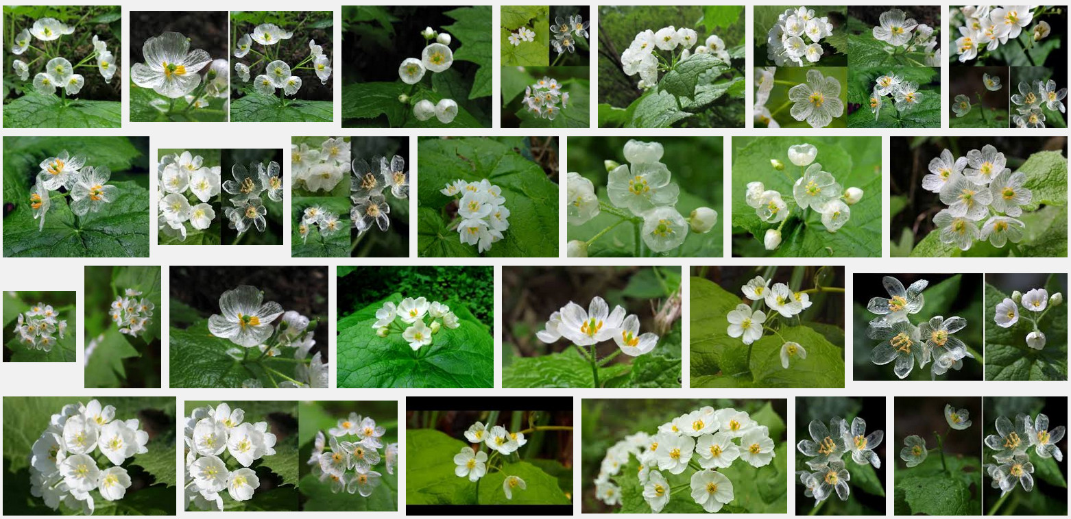 Diphylleia grayi flowers