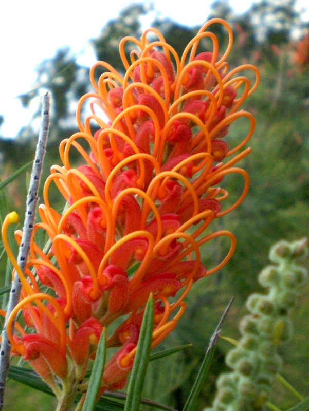 Grevillea cultivar 'Honey barbara'
