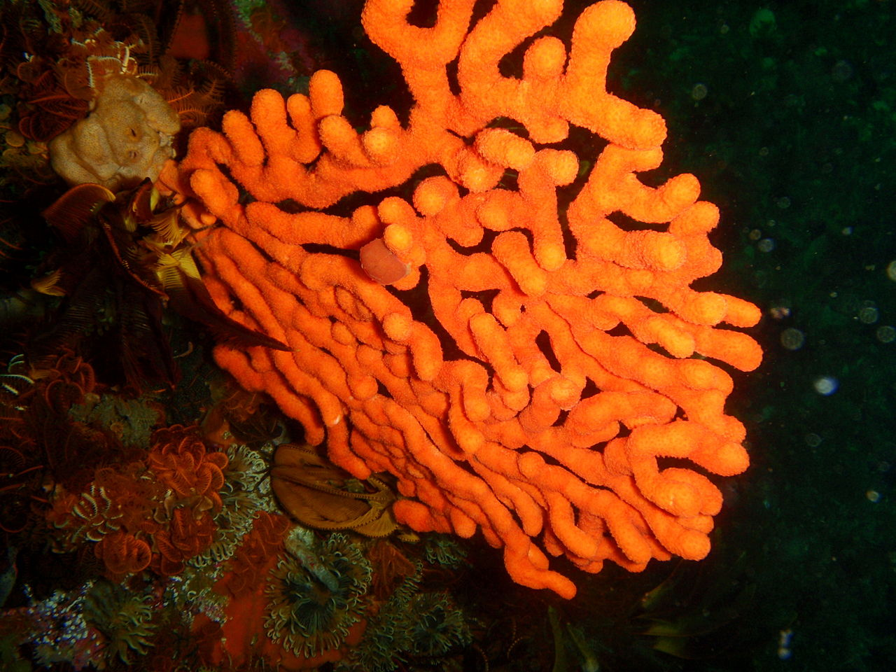 Eunicella tricoronata (Sinuous sea fan)