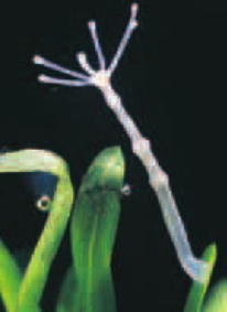 This tiny Hydra is attached to the leaf of a aquatic plant
