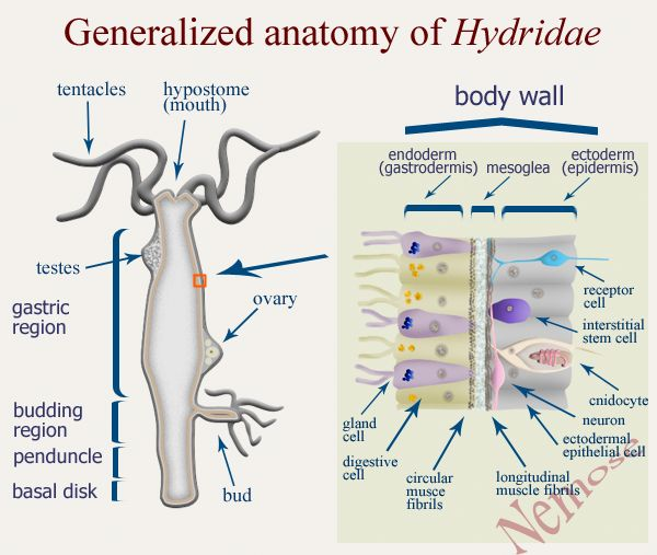 Generalized Anatomy of Hydridae