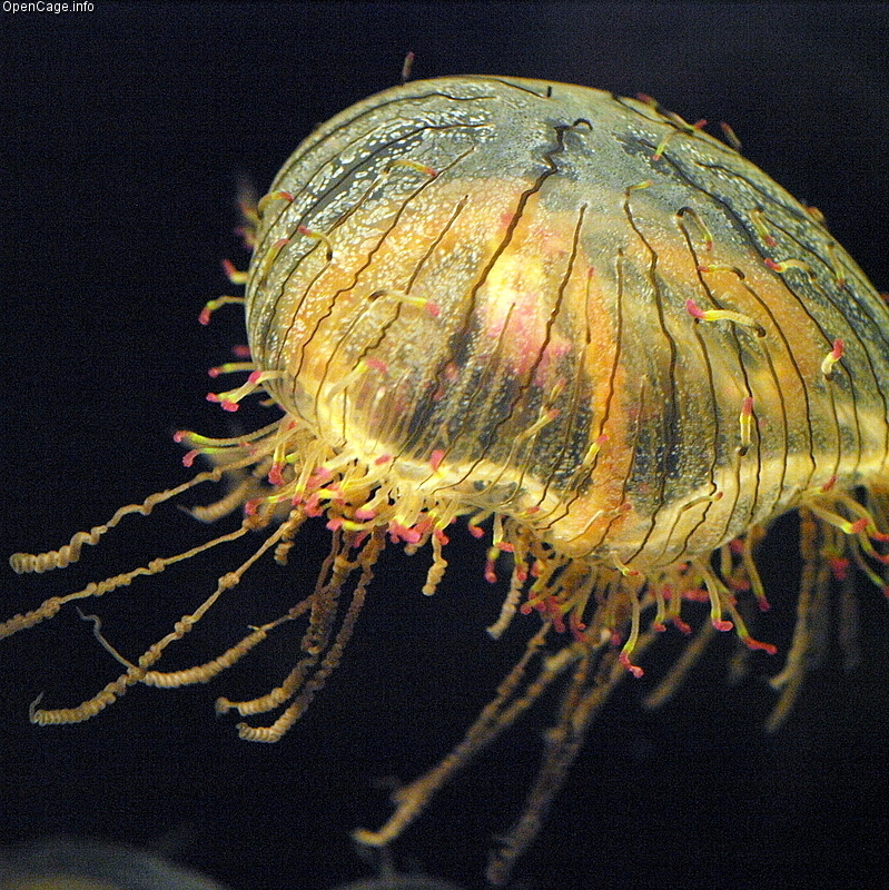 Flower Hat Jellyfish (Olindias formosa)