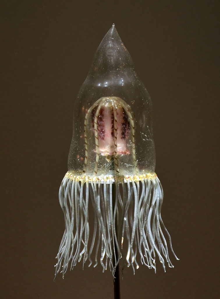 Glass model of Neoturris pileata