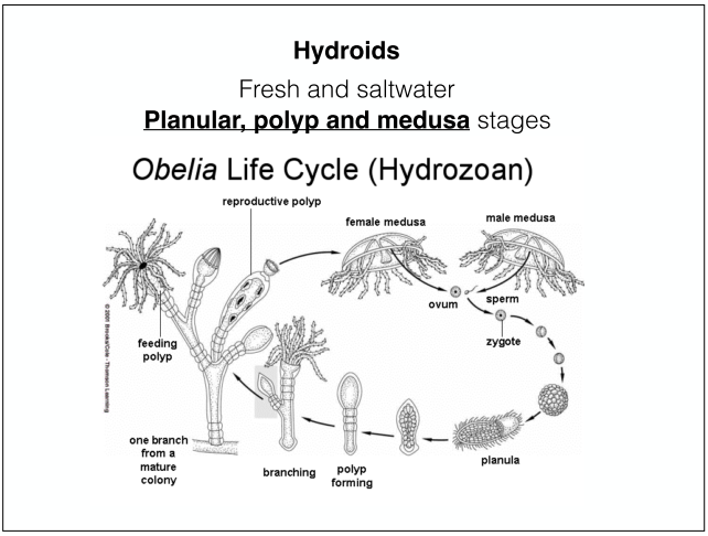 Hydrozoa asexual reproduction regeneration