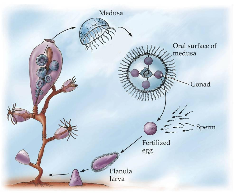 Hydrozoan Life Cycle