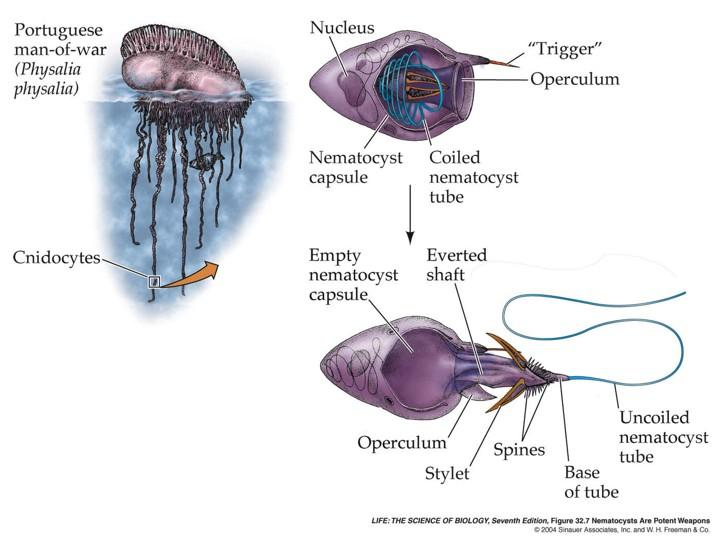 Jellyfish And Other Cnidarians