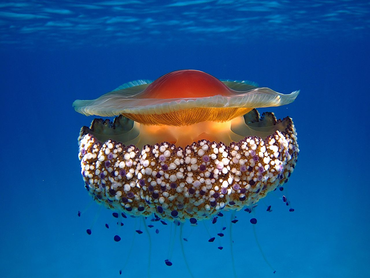Fried egg jellyfish (Spiegelei jellyfish)