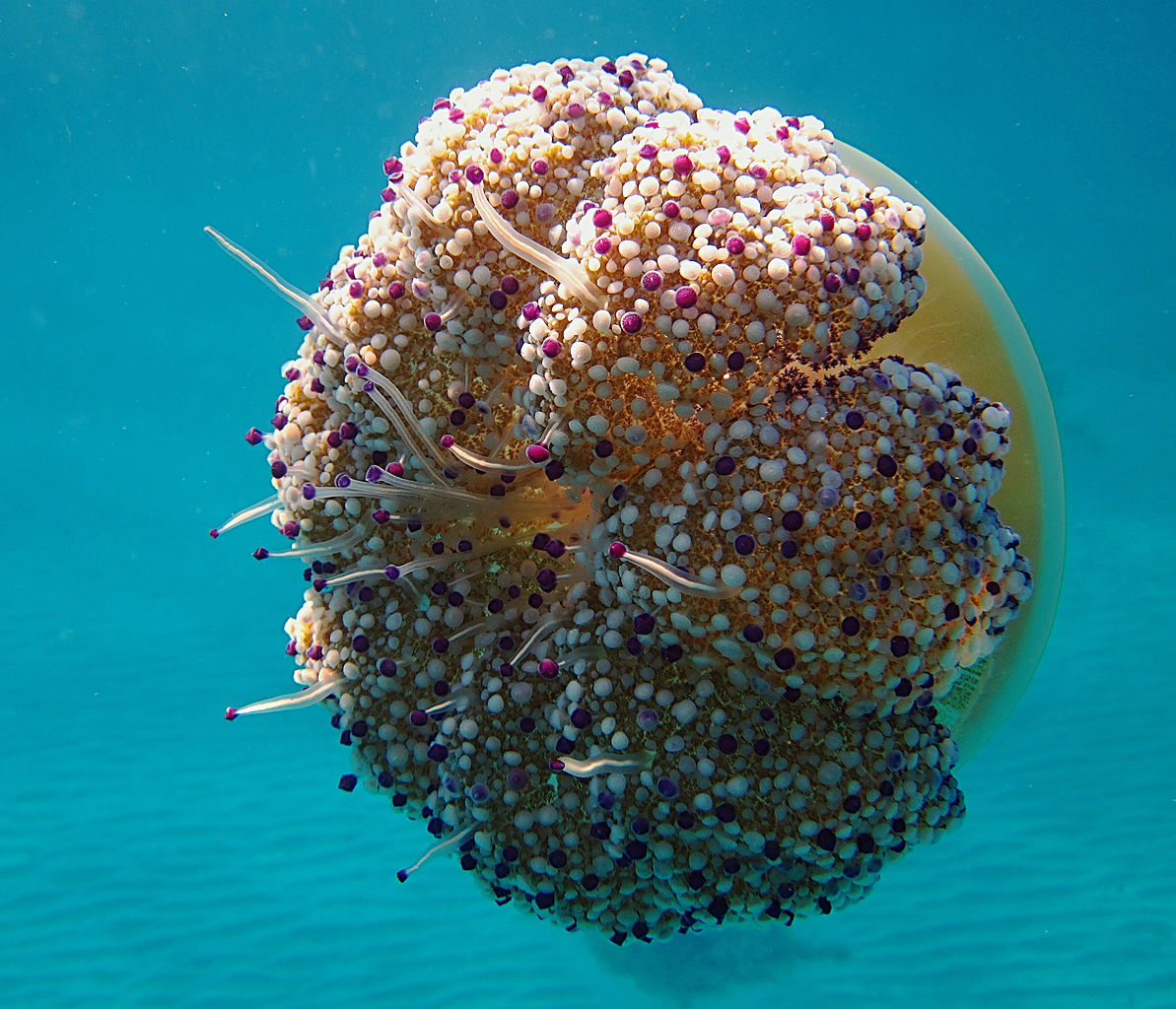 Fried egg jellyfish (Mediterranean Jellyfish)