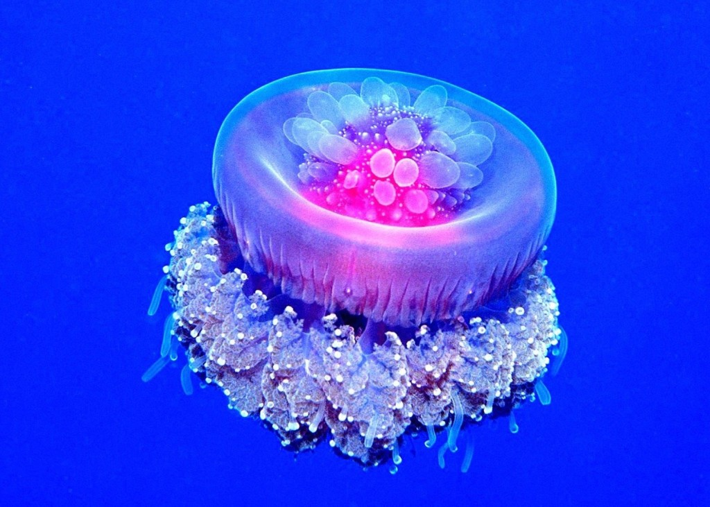 Crown jellyfish (Cephea cephea)