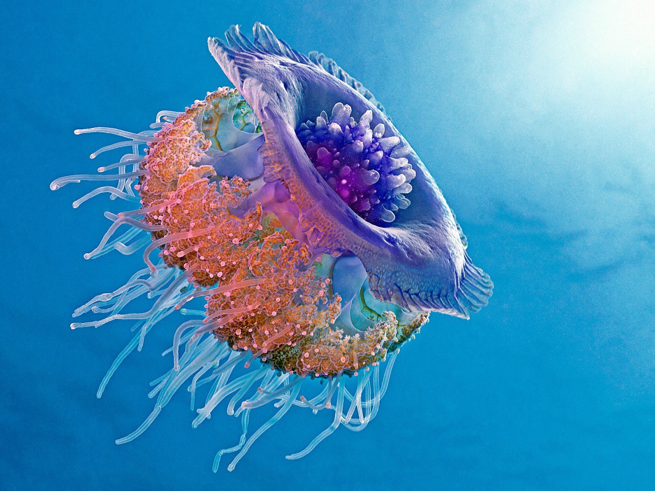 Crown Jellyfish / Cephea cephea