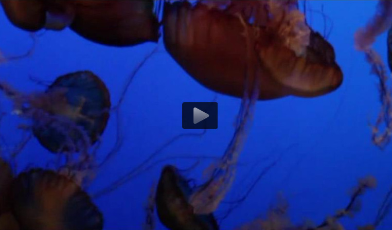 A swarm of Pacific sea nettles (Video)