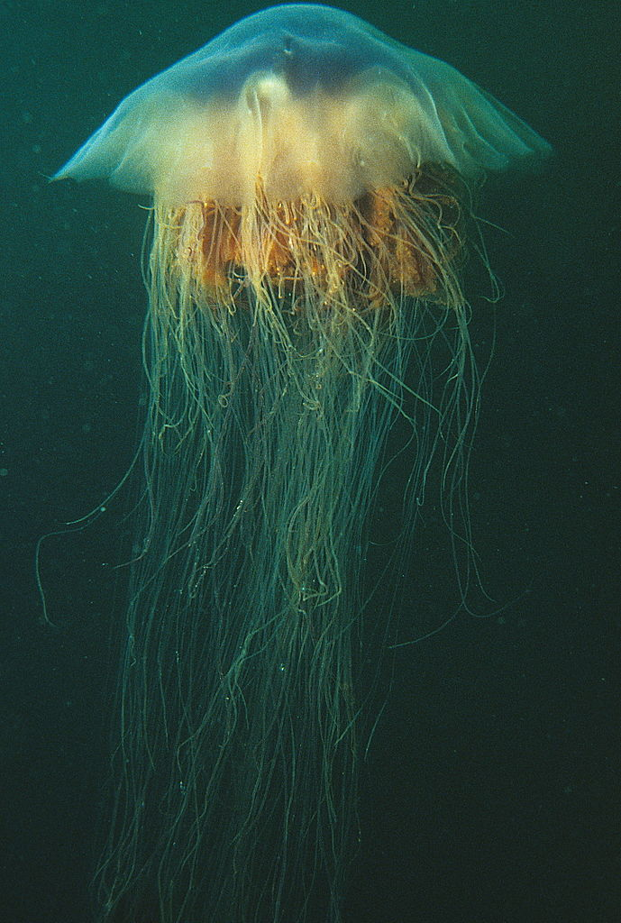 The lion's mane jellyfish (Cyanea capillata)