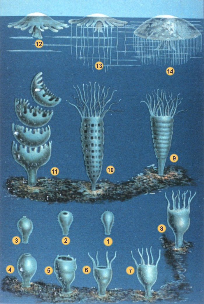 Life cycle of scyphozoans