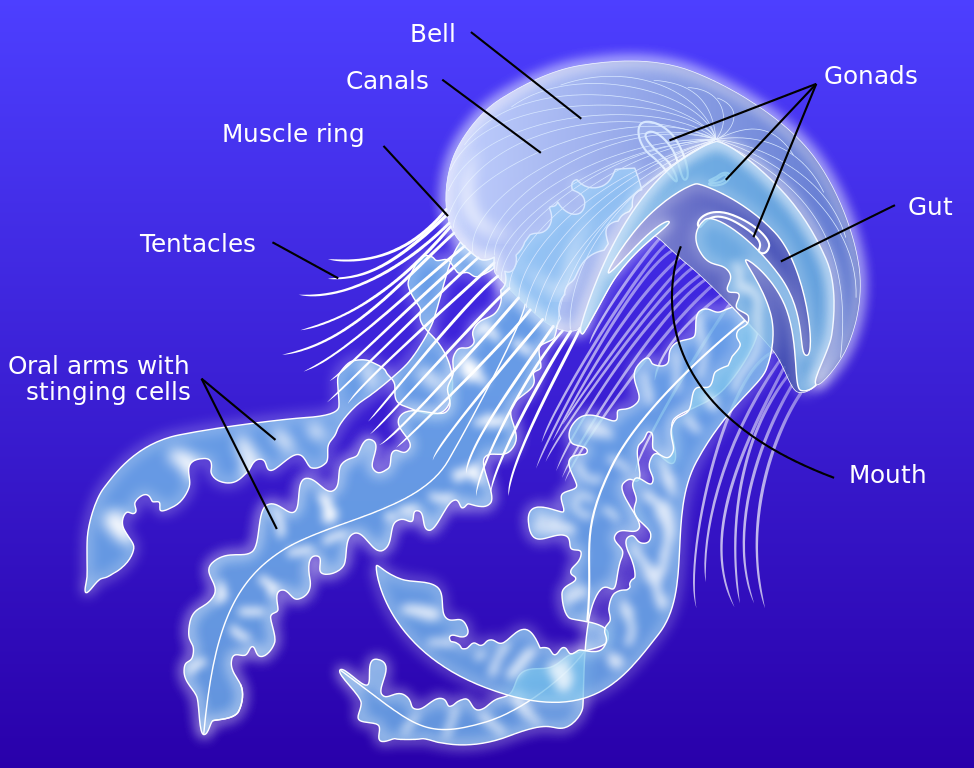 Diagram of the anatomy of a scyphozoan jellyfish