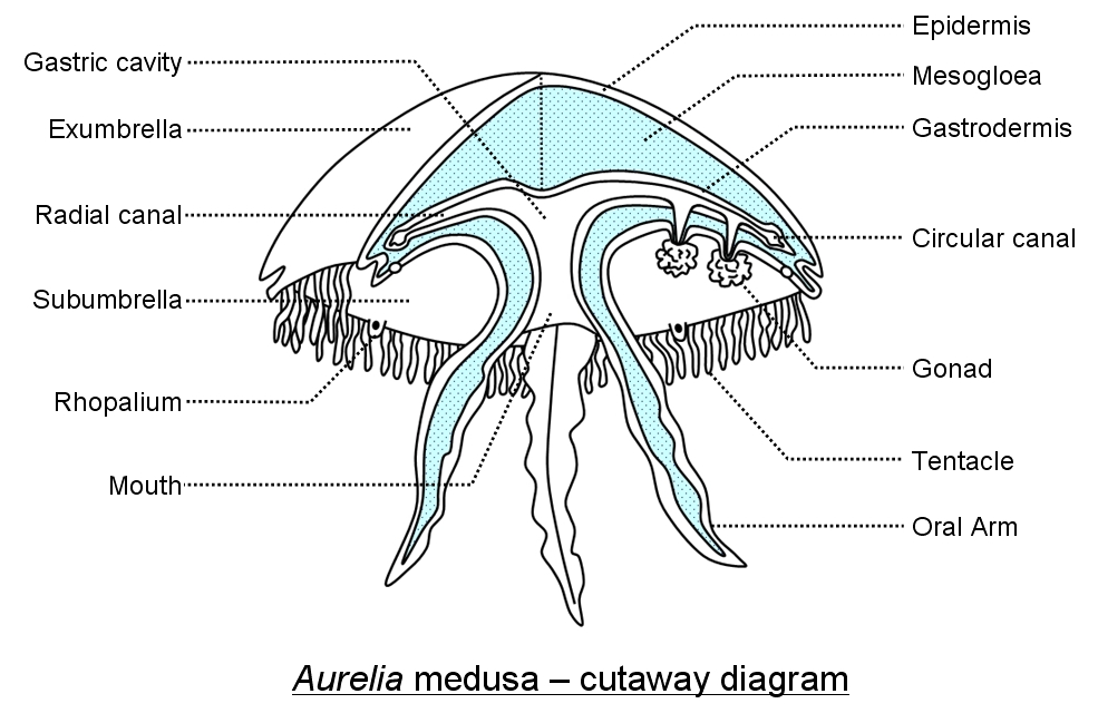 A cutaway diagram of the moon jellyfish, Aurelia