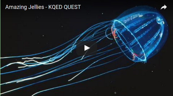 Amazing Jellies: The mysteries of jellyfish and alien-like siphonophores (Video)