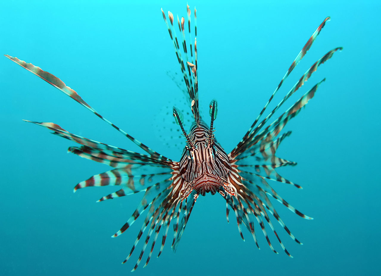 Pterois volitans (common lionfish)