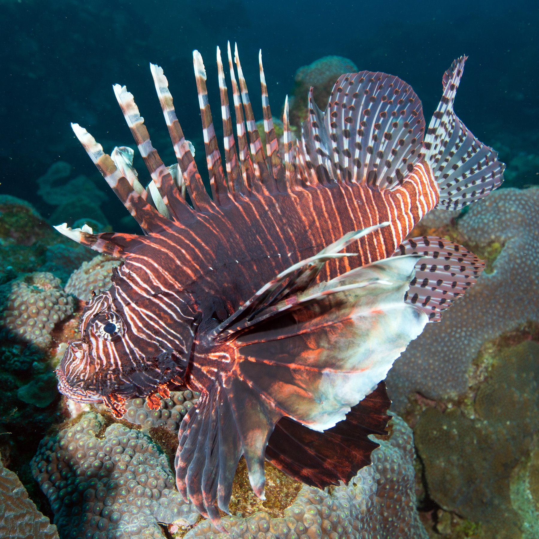 A large lionfish on the reef at West Flower Garden Bank.