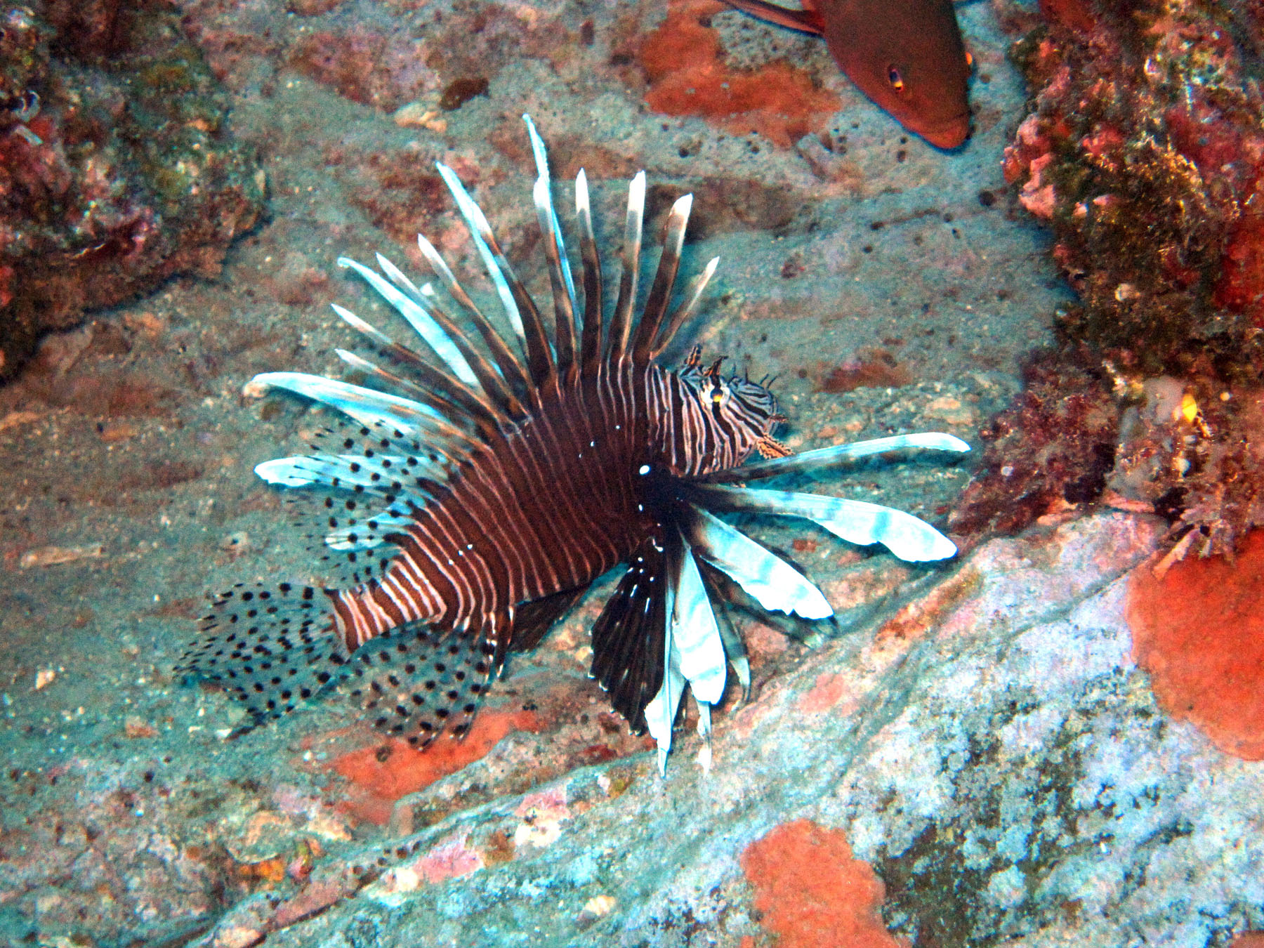 A lionfish spotted at Sonnier Bank