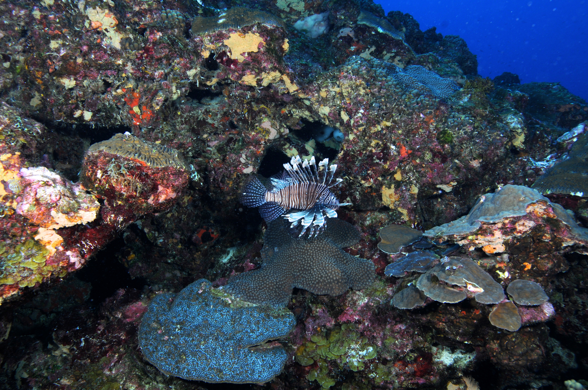 lionfish actually blend into their reef surroundings quite well